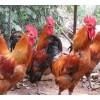 专业土鸡苗养殖/鸵鸟蛋厂家/洛阳良新鸵鸟孵化场