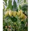 仙女山特产零食/武隆周边水果种植基地/重庆市武隆区枣典水果种