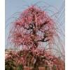 特色景观植物垂枝梅新品种_三角梅盆景供应_寻乌县彩叶苗圃